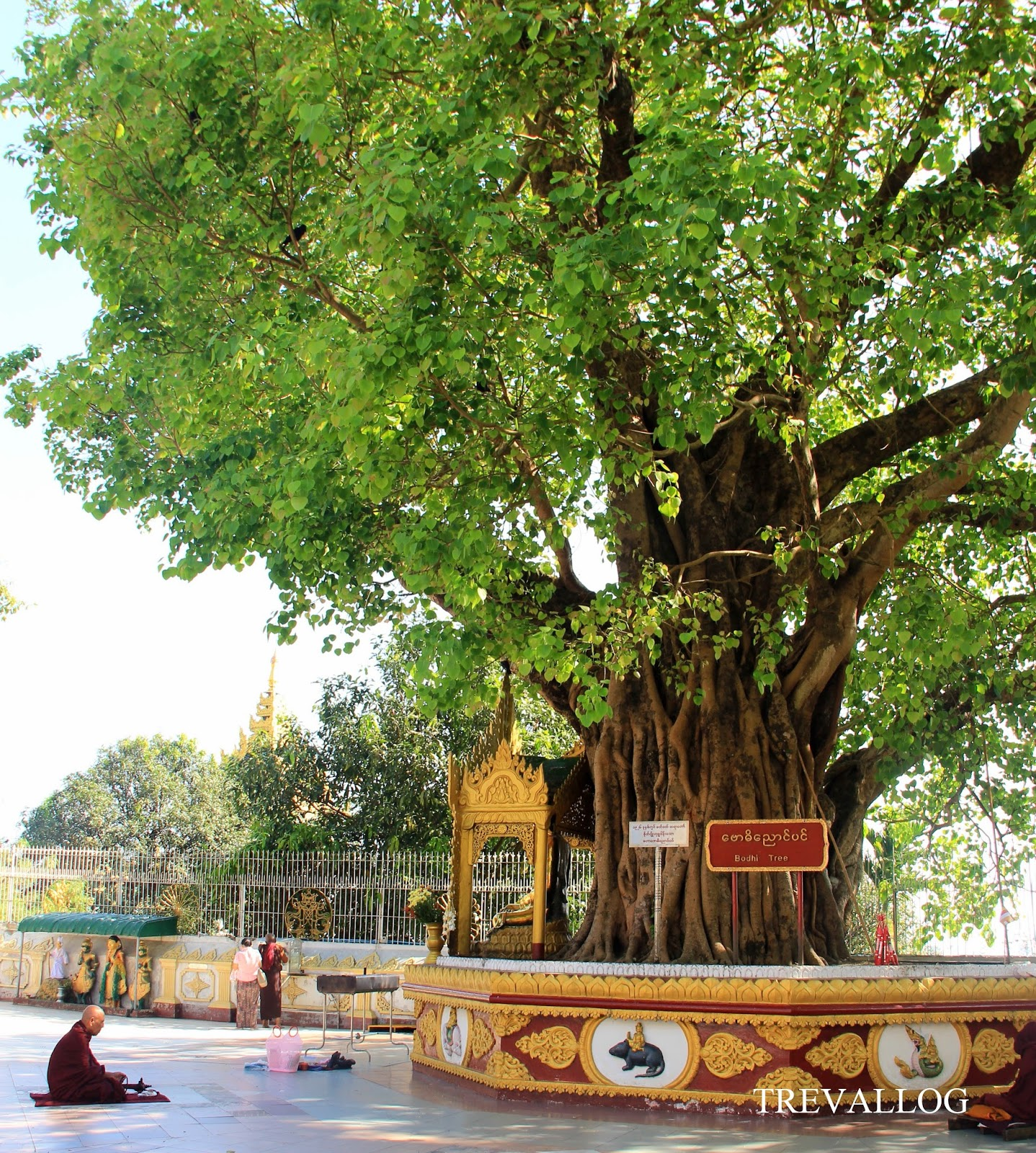 A monk praying under the sacred Bodhi Tree in Shwedagon Pagoda, Yangon