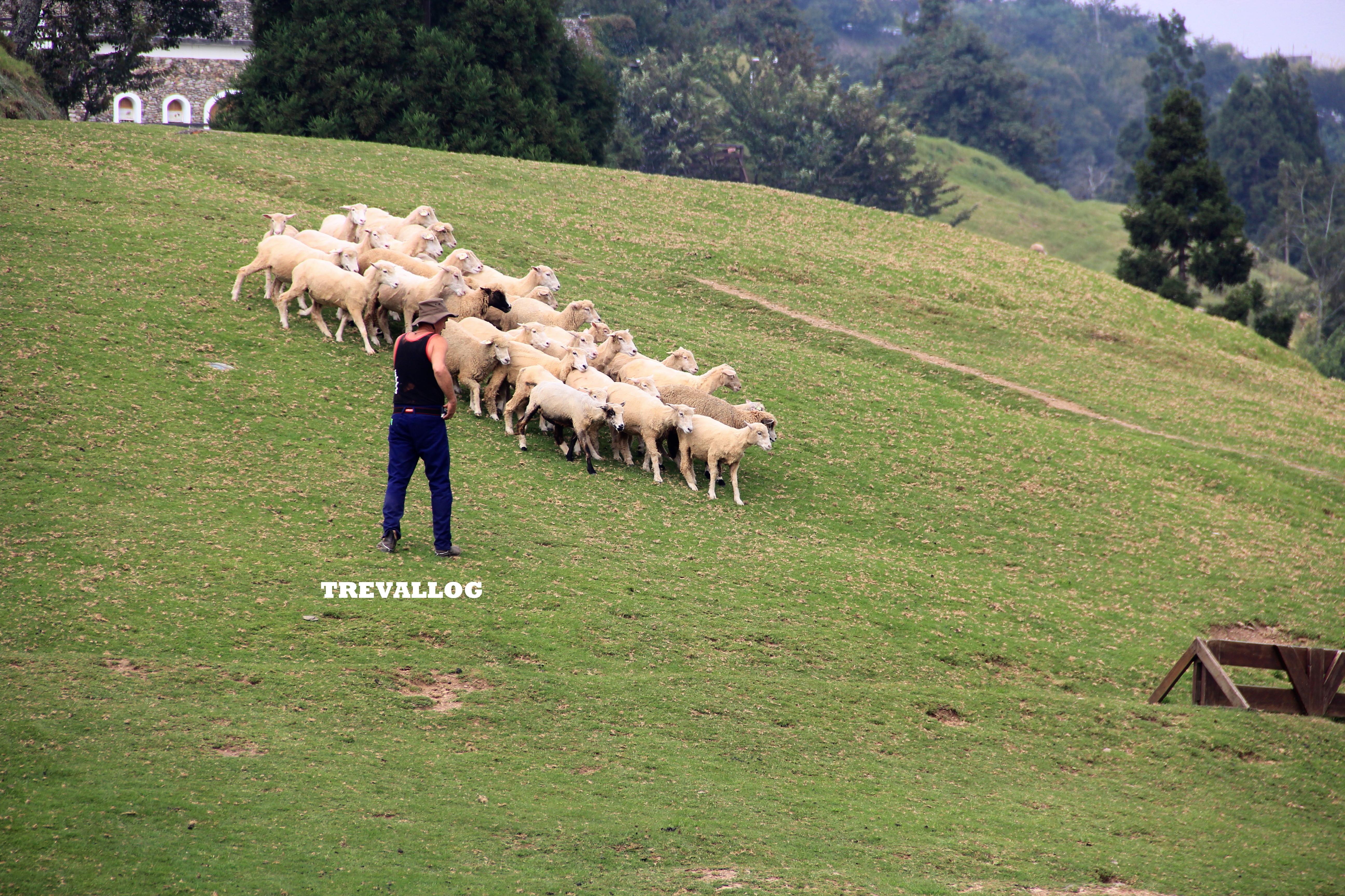 Sheep Show at Cingjing Farm, Taiwan