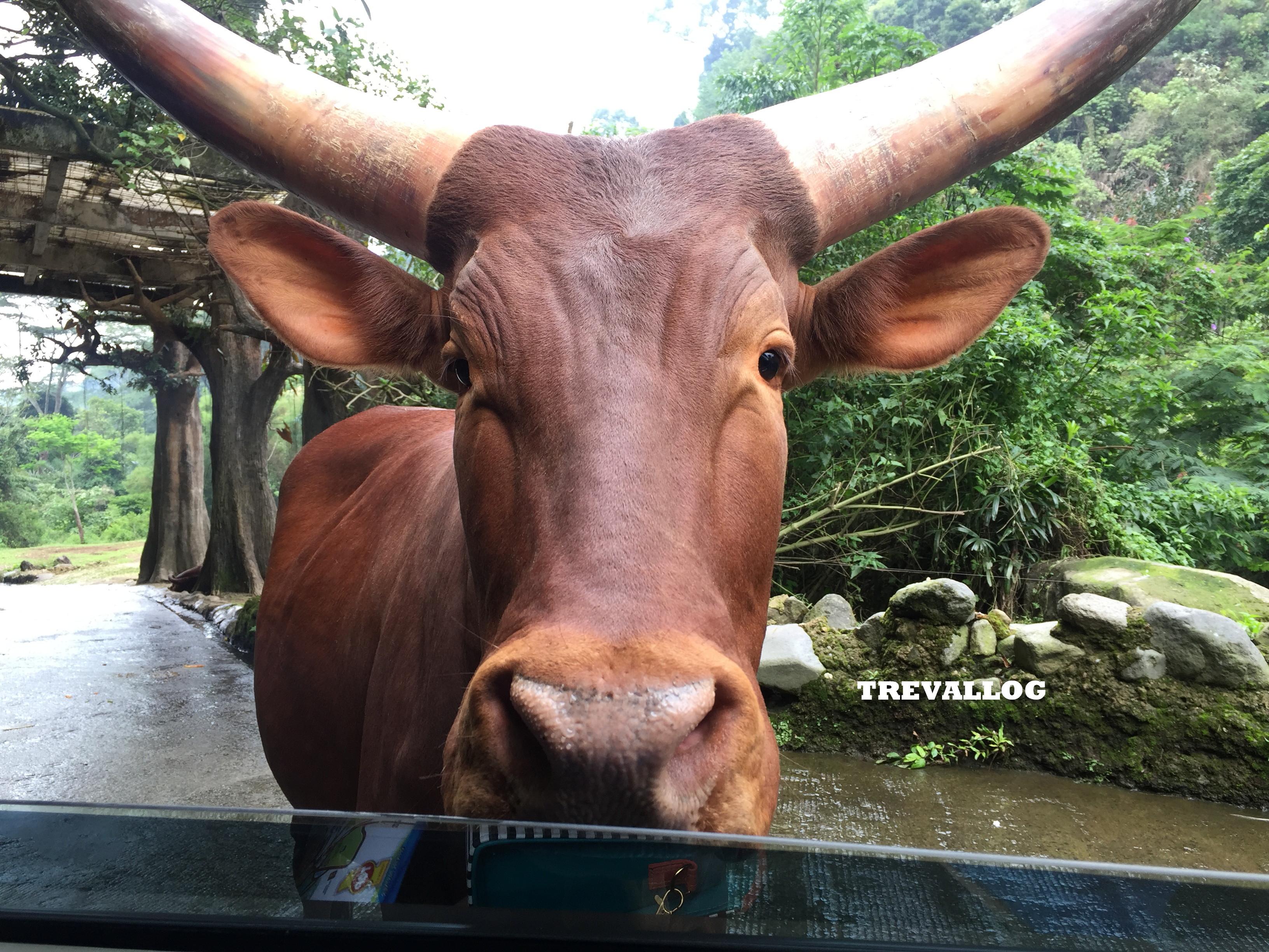 Ox at Taman Safari, Bogor, Indonesia