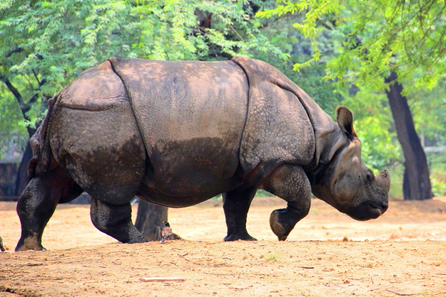Rhinoceros at National Zoological Park at New Delhi, India