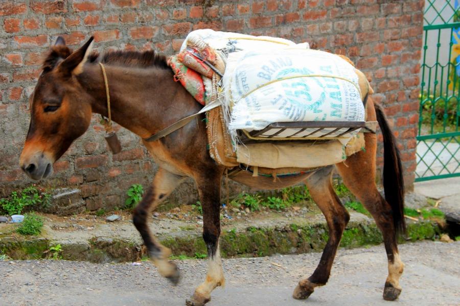 Hardworking horse in Dharamkot, McLeod Ganj, Dharamsala, India