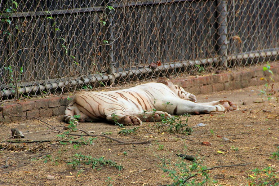 Napping tiger at National Zoological Park at New Delhi, India