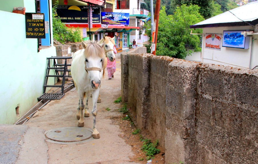 Beautiful white horses in Dharamkot, McLeod Ganj, Dharamsala, India