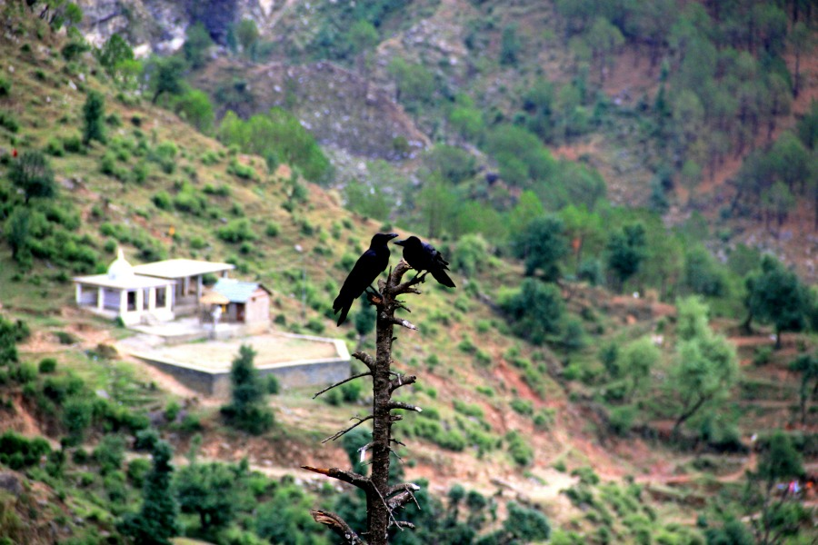 Birds at McLeod Ganj, Dharamsala, India