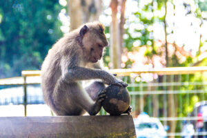 The Innocent Looking Monkeys in Monkey Forest Ubud Bali Are Really AGGRESSIVE