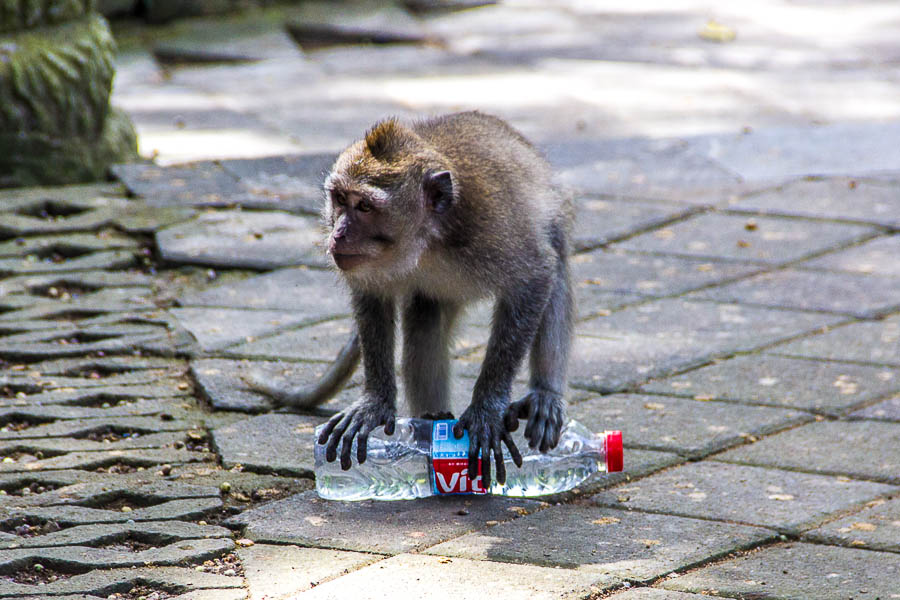 Monkey at Monkey Forest Ubud, Bali