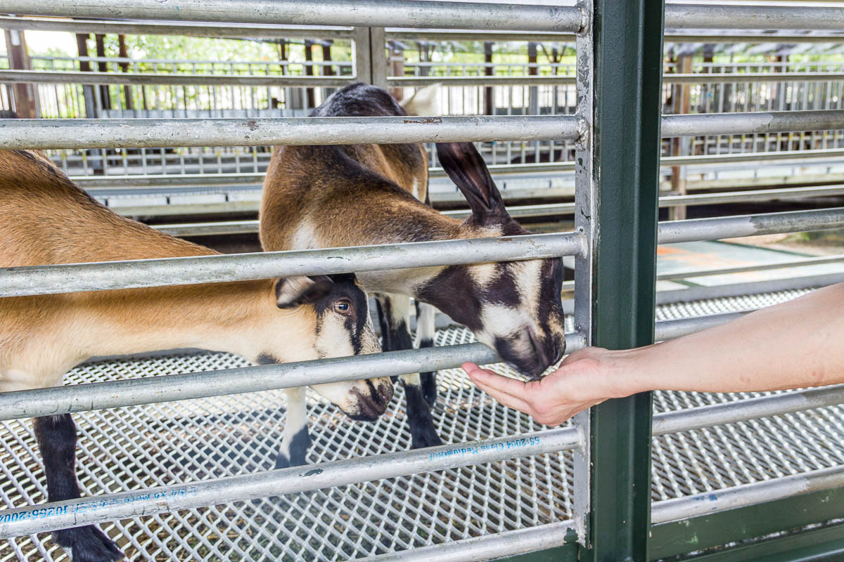 Feeding and petting goats at Hay Dairies Goat Farm, Kranji Countryside, Singapore