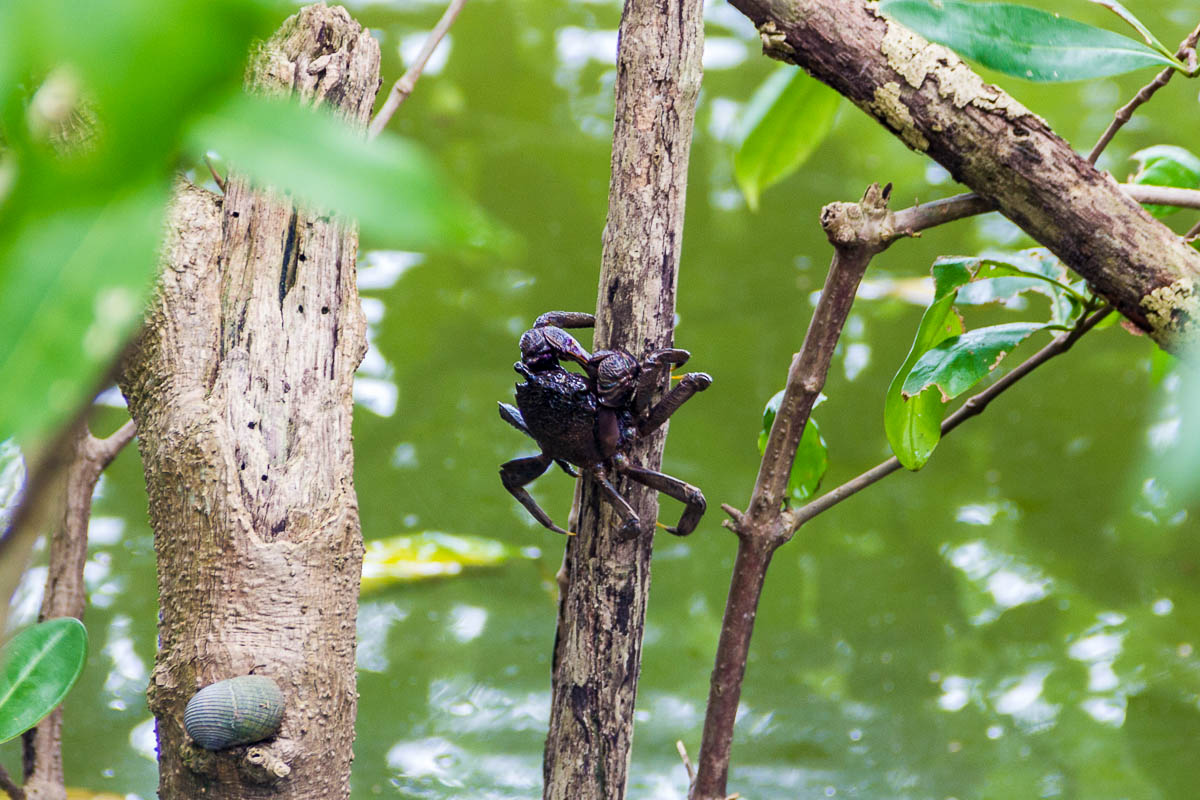 Tree-climbing crab at Migratory Bird Trail, Sungei Buloh Wetland Reserve, Kranji Countryside, Singapore