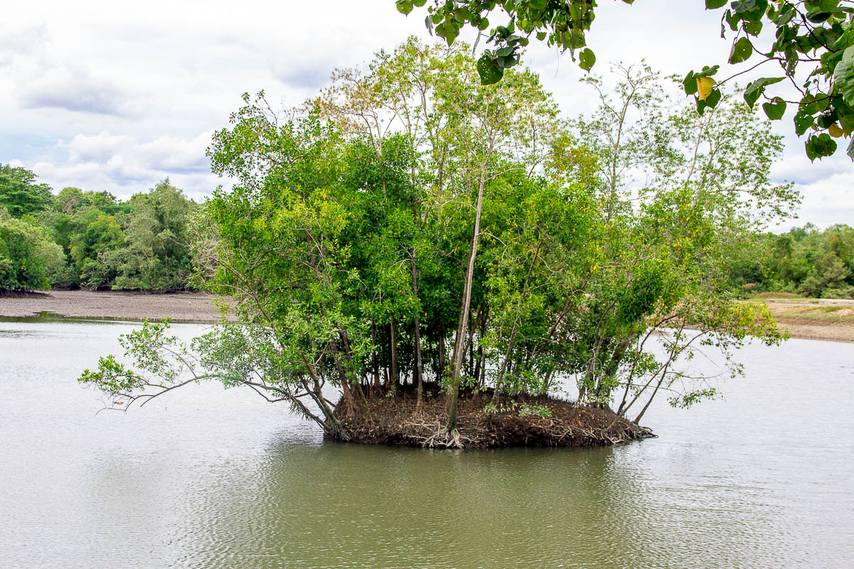 Mangrove at Migratory Bird Trail, Sungei Buloh Wetland Reserve, Kranji Countryside, Singapore