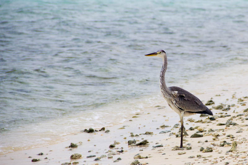 Bird in Hangnaameedhoo, Maldives