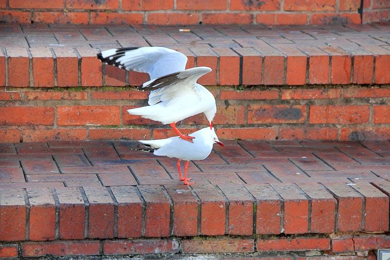 Sydney's birds