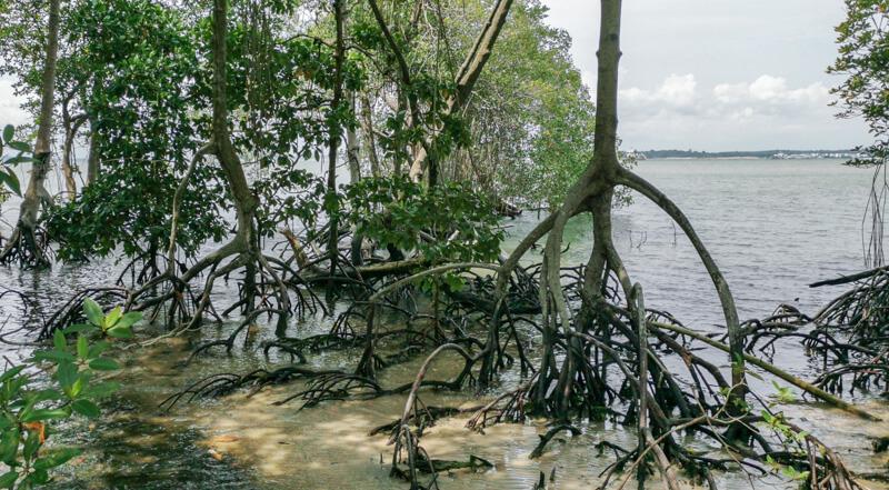 Mangrove Boardwalk, Chek Jawa