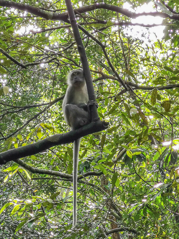 MacRitchie Reservoir Monkeys