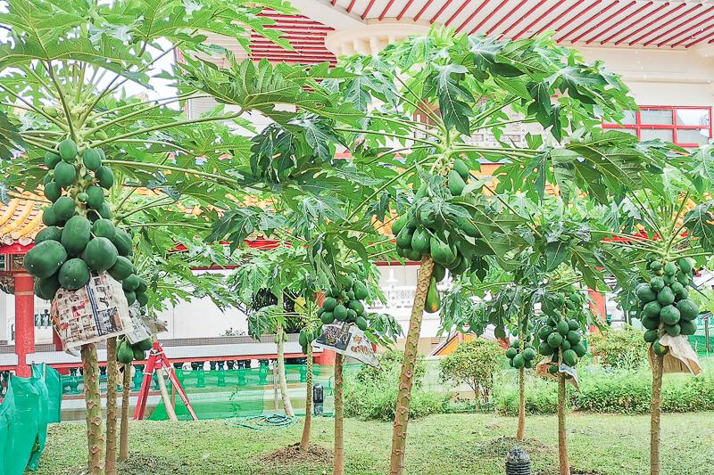 Kong Meng San Phor Kark See Singapore - Papaya garden